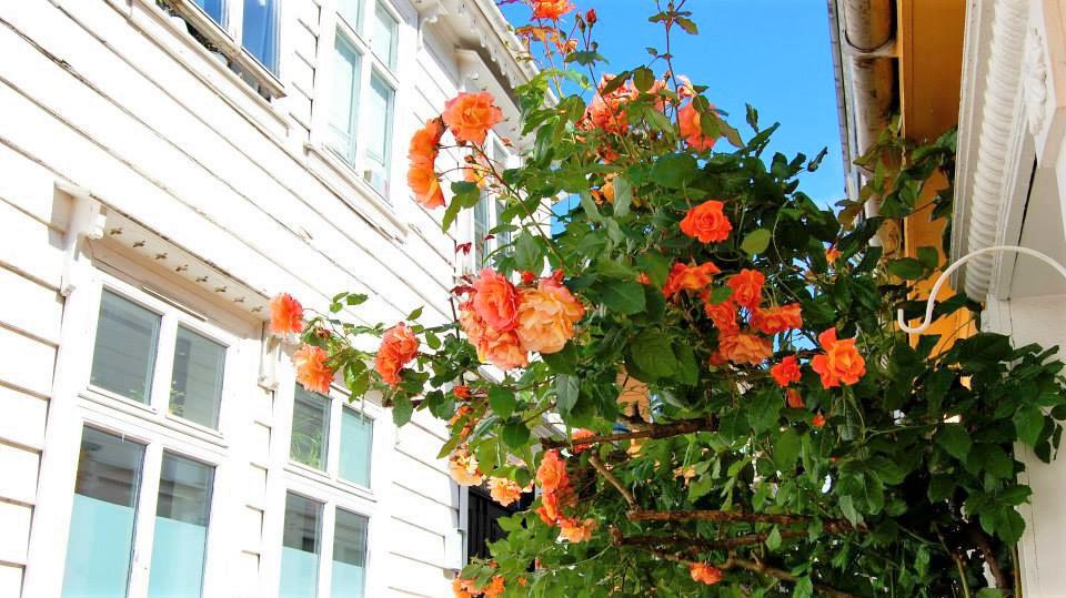 Норвегия запомнилась цветущими розами